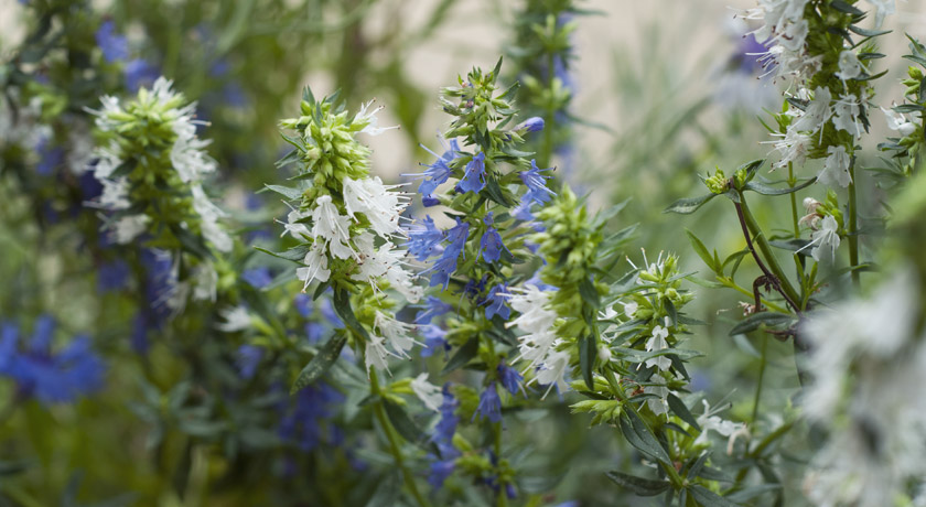 White and blue hyssop