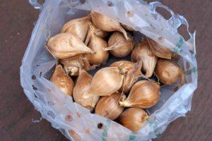 Bulbs in a bag