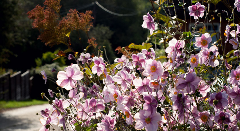 Tall pink Japanese Anemone