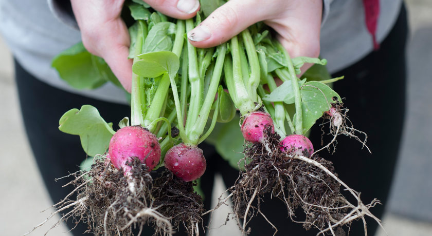 Hands holding muddy radishes