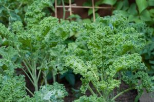 Closely growing kale plants