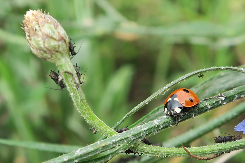 Ladybird with blackfly