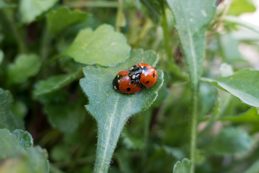 Ladybirds mating on leaf