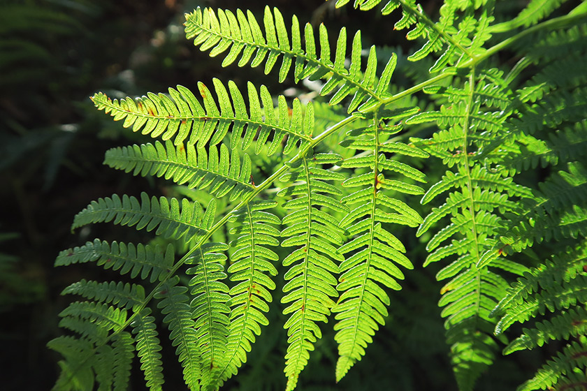 Fern lit by sunshine