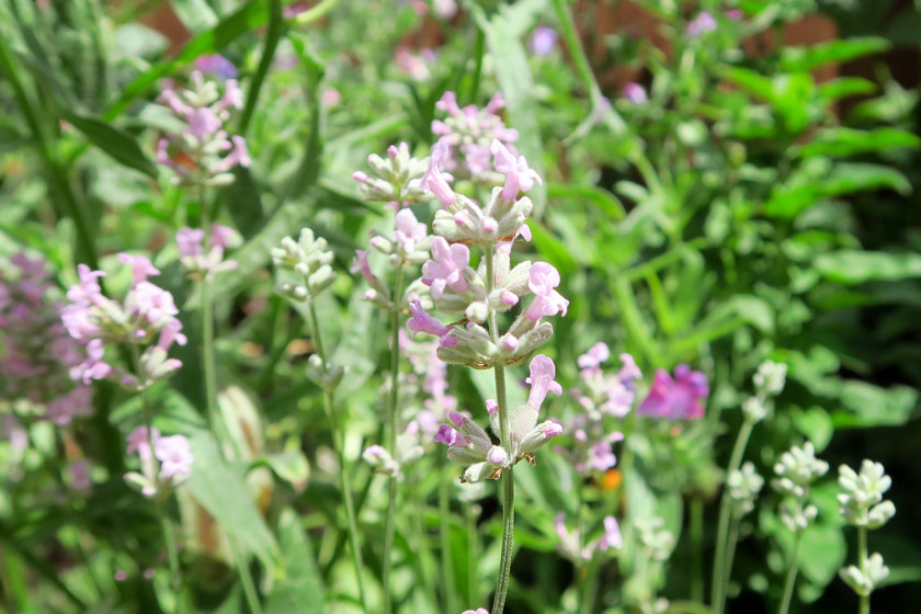 Purple pink lavender flowers