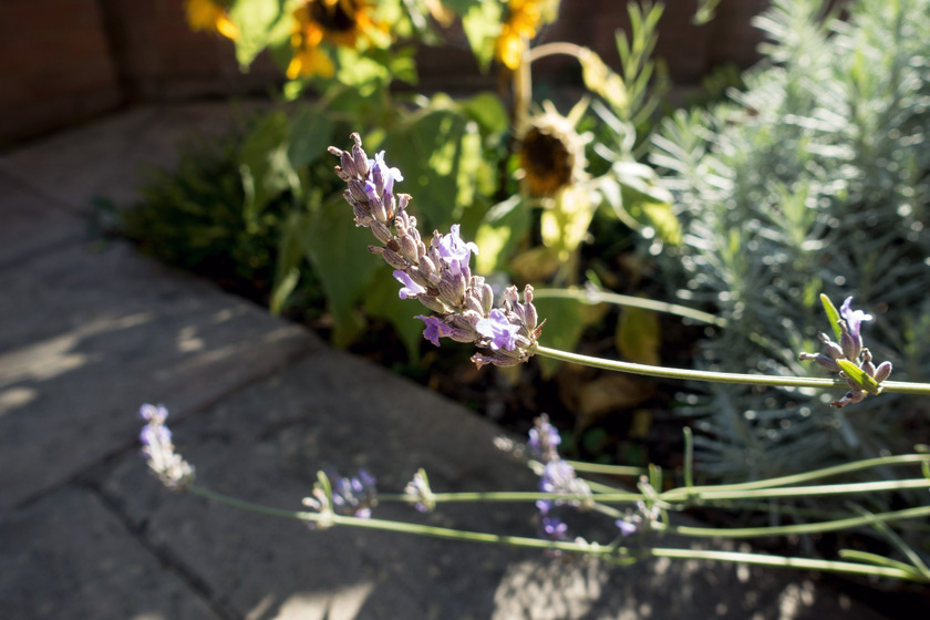 Lavender in the sun