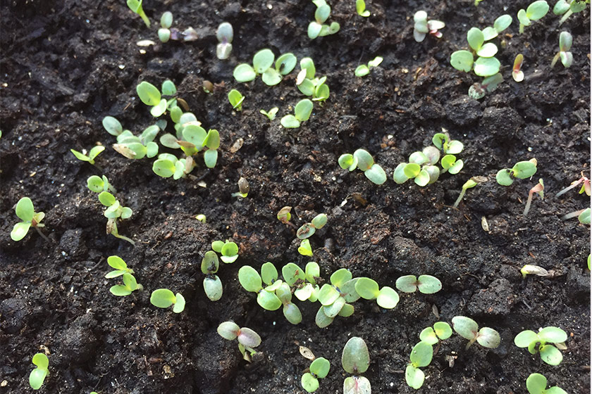 Tiny green seedlings