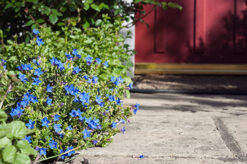 Blue flowers growing along path