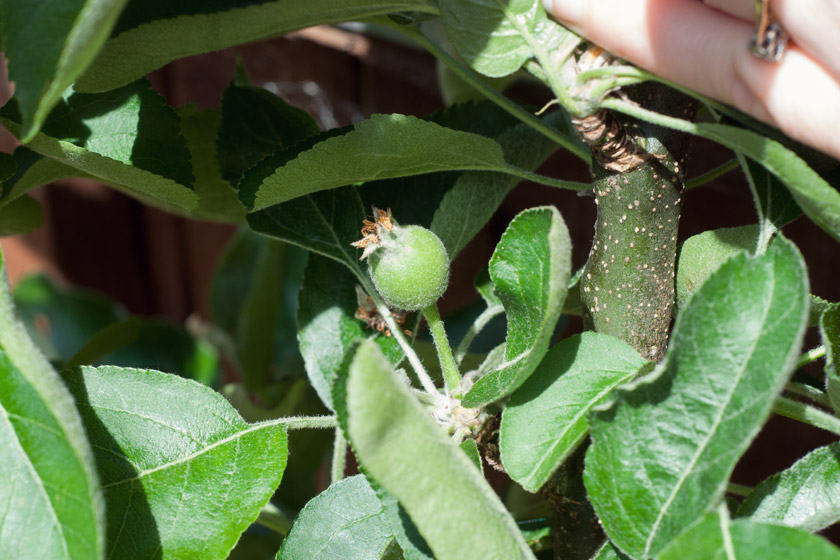 Small apple growing on tree