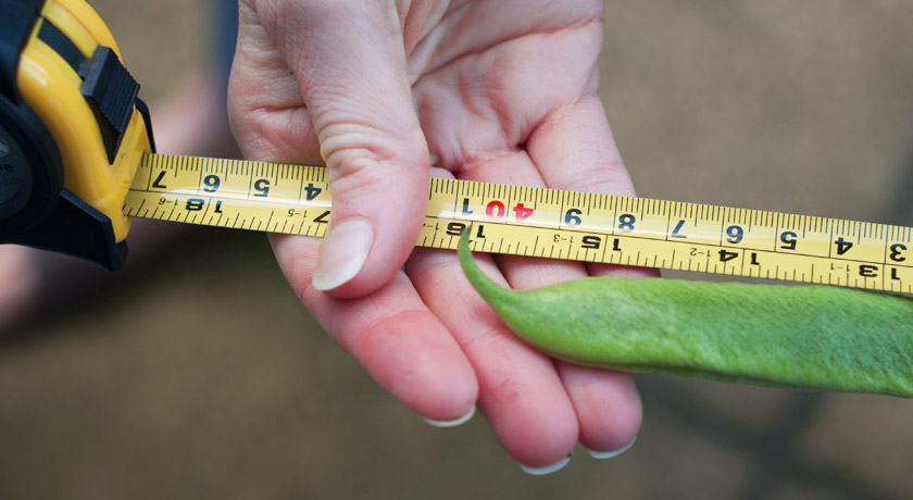 "16"" runner bean on tape measure"