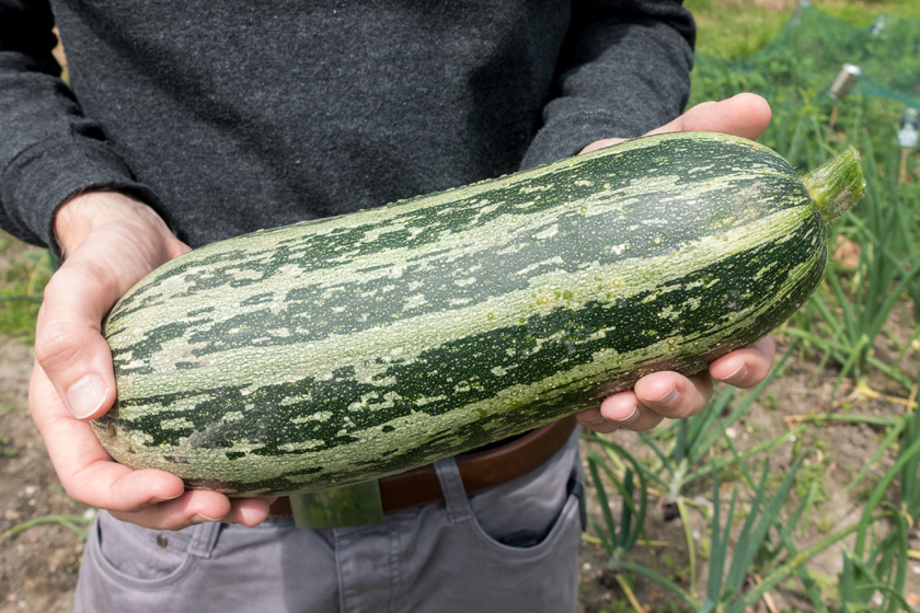 Large marrow