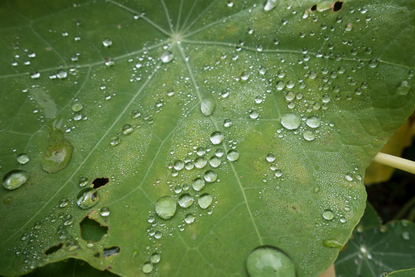 Water drops on nasturtium