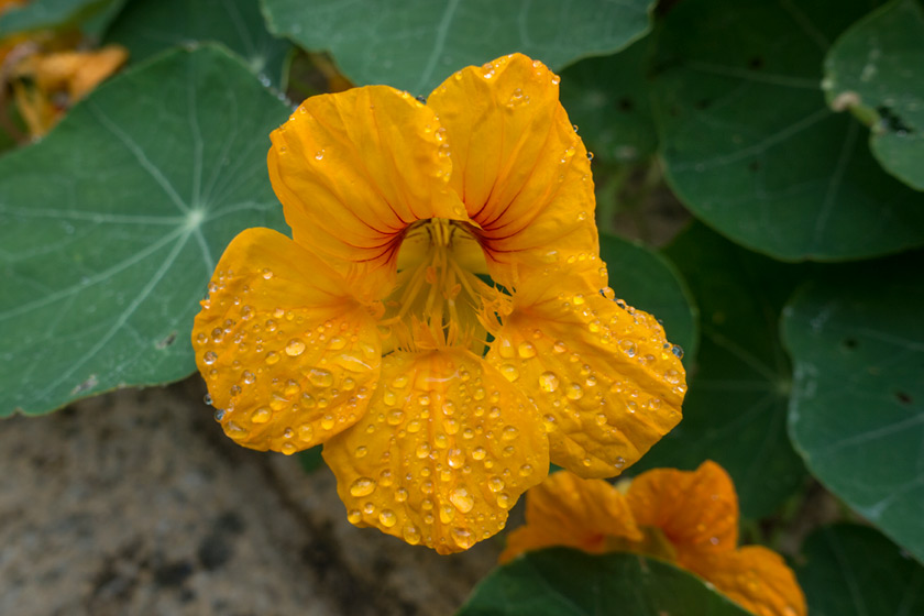 Water drop on nasturtium flower