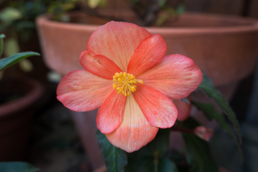 Orange begonia flower