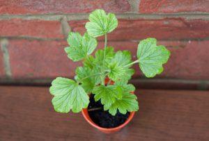 Young geranium plant