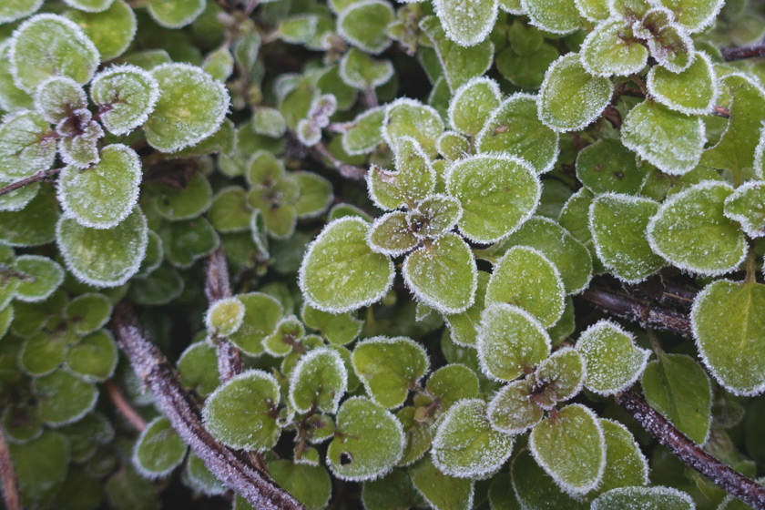 Frosty oregano leaves