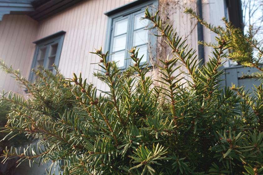 Closeup on pine