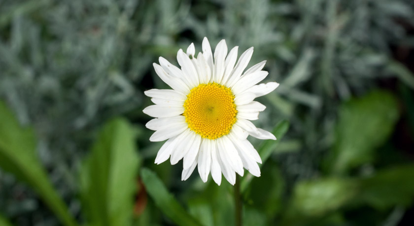 Big white daisy