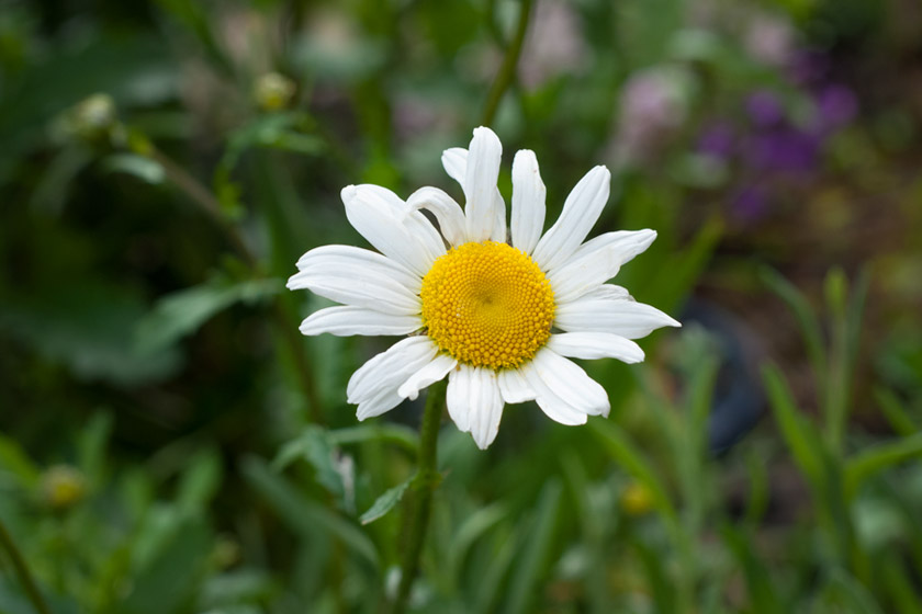 Single Oxeye Daisy