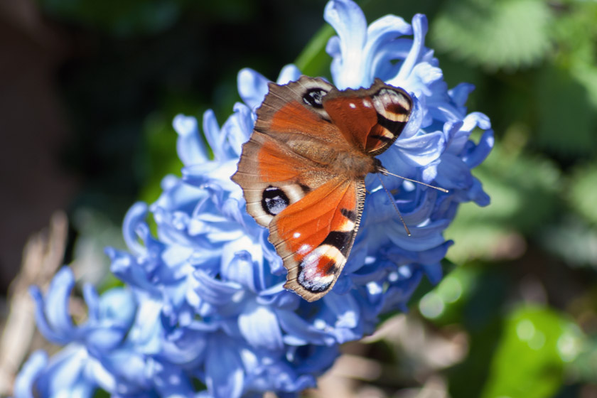 Peacock butterfly on blue hyacinth