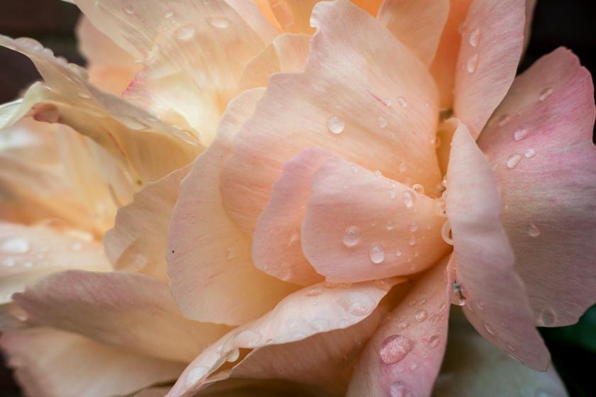 Raindrops on peony petals