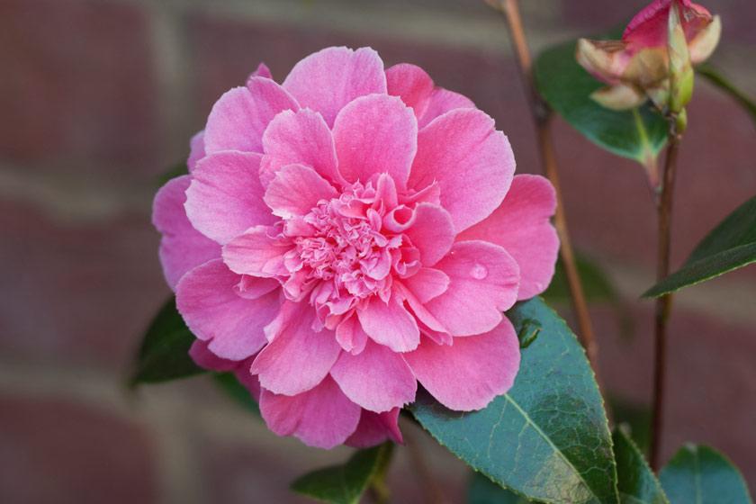 Hot pink camellia flower