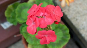 Bright pink geranium flower