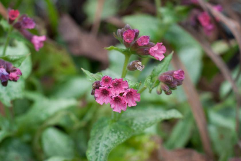 Pink pulmonaria flowers