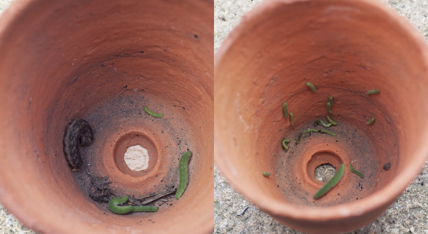 Green caterpillars in pot