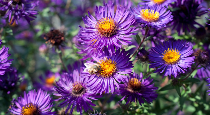 Dark purple aster flowers