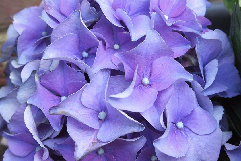 Purple hydrangea petals