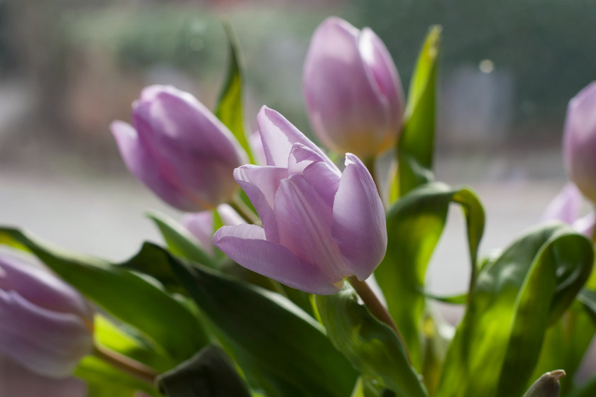 Pale purple tulips
