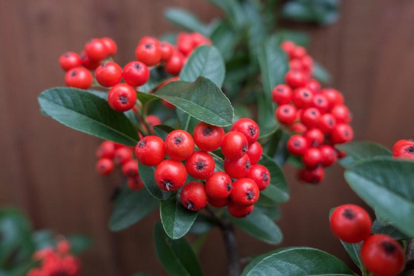 Plump red berries