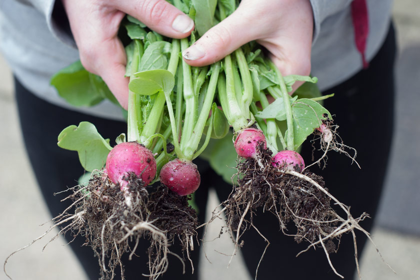 Hands holding radishes