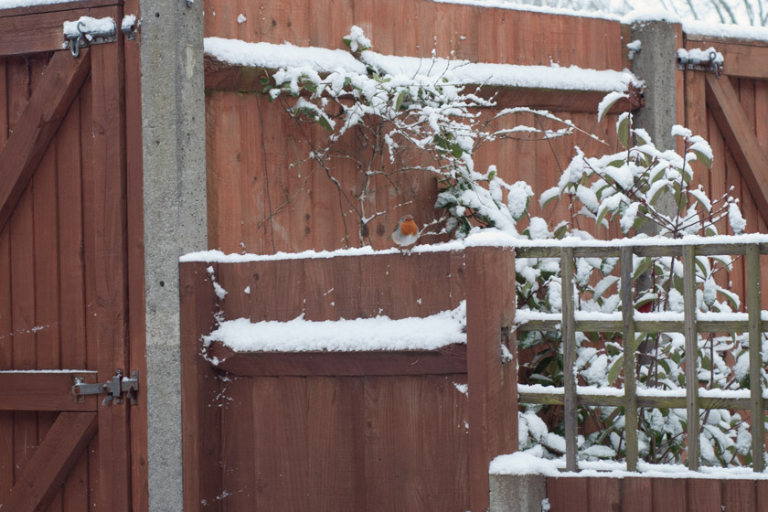 Robin perched on snowy fence
