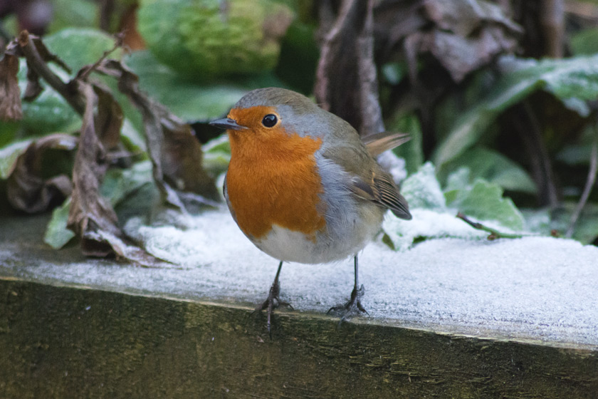 Robin standing on frost