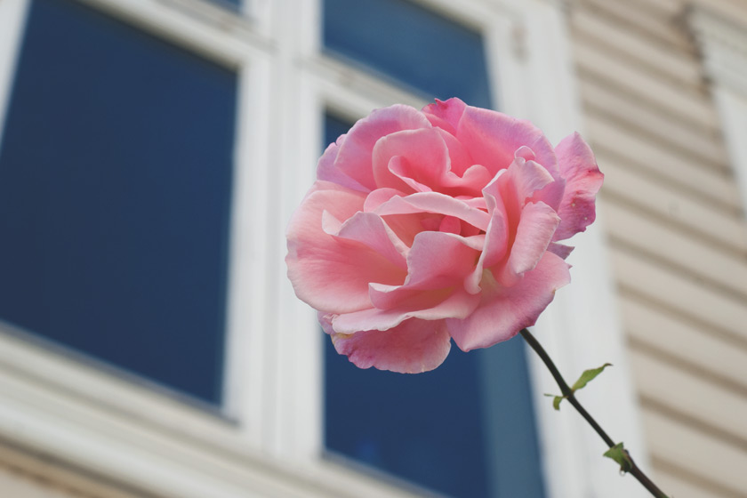Pink rose against window