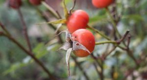 Colourful round rosehips