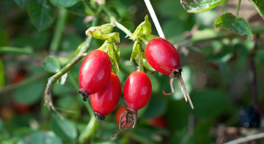 Deep red rosehips