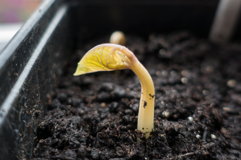 Runner bean seedling