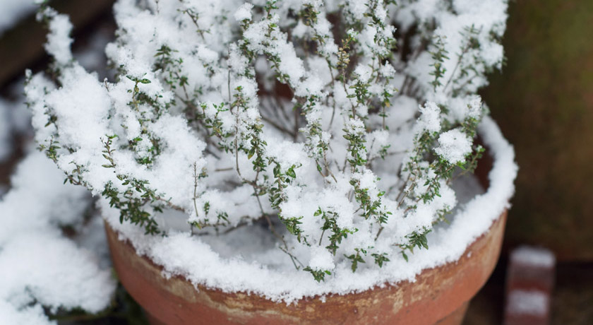 Snow covered thyme