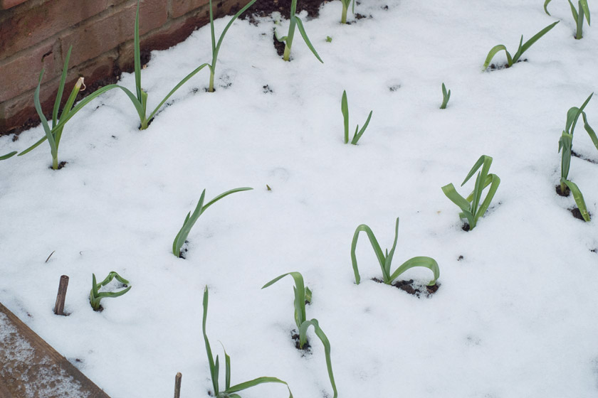 Garlic shoots in the snow
