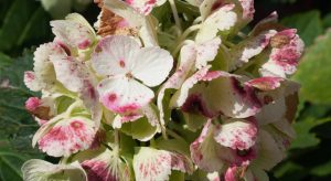 Speckled hydrangea leaves
