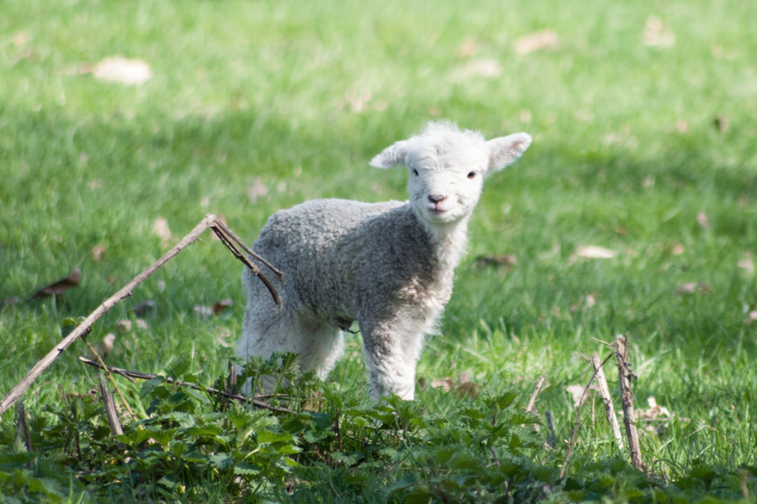 Small white lamb