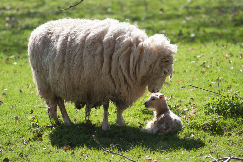 Young lamb with mothers