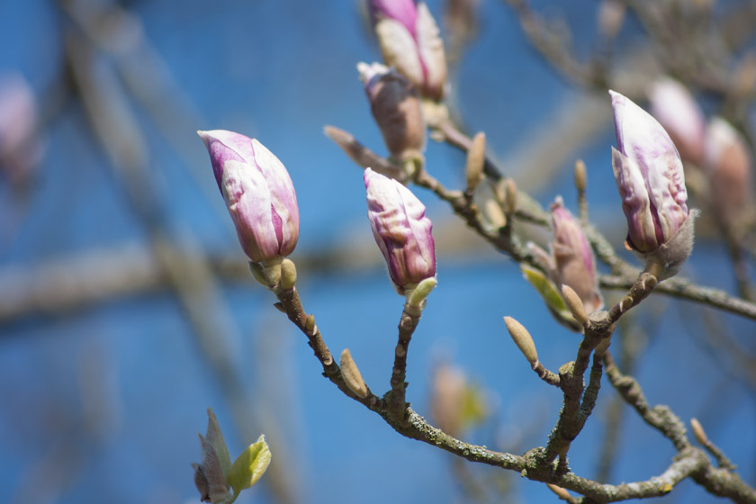 Pink magnolia buds in sun