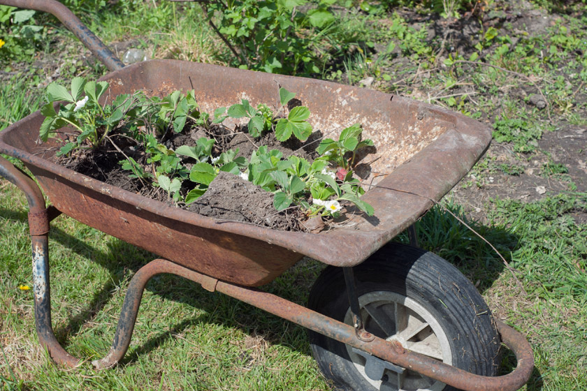 Rusty wheelbarrow full of strawberry plants