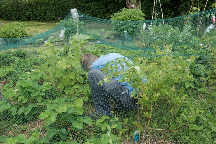 Picking inside fruit net