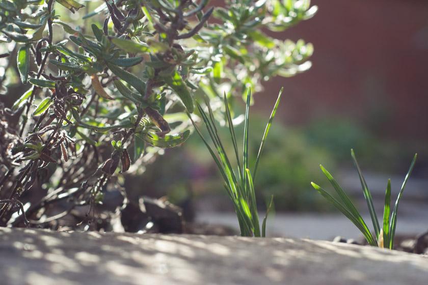 Crocus shoots in the sun