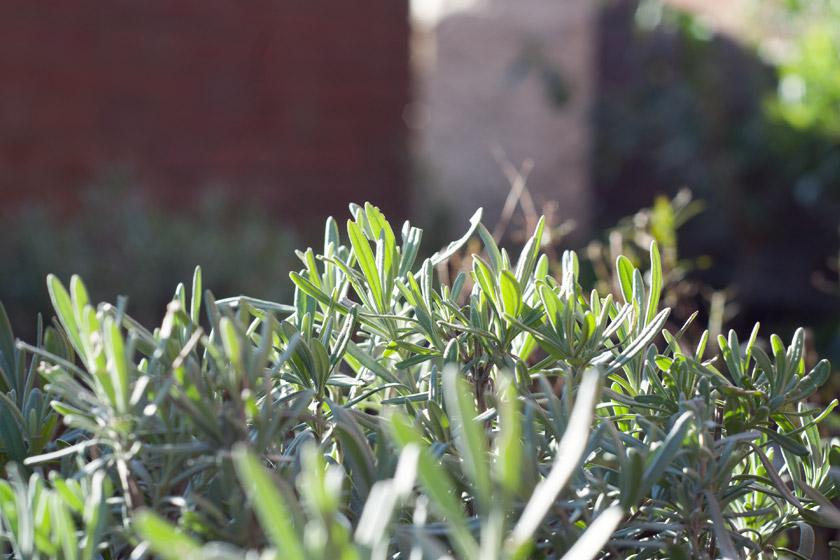 English lavender in the sun